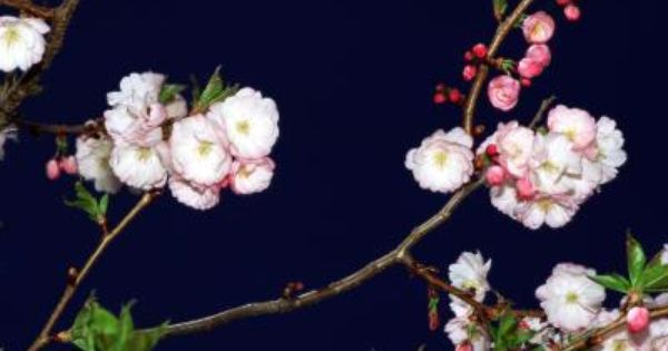 How To Prevent Fruit On A Crabapple Tree Crabapple Tree Flowering Crabapple Flowering Crabapple Tree