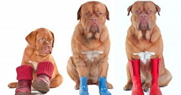 Different Ages Of Dogue De Bordeaux French Mastiff Dogs With Various Boots Shoes Boots Wellington Boots For All Seas Bordeaux Dog Dogs French Mastiff Dog