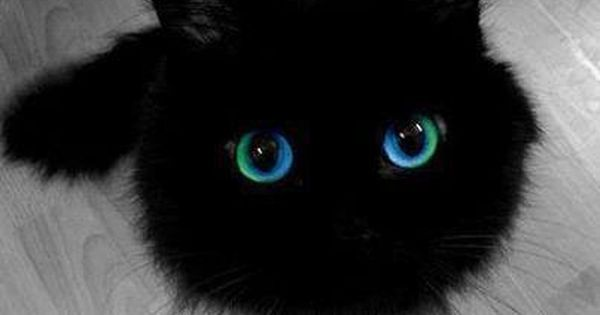 Blue Eye Black Cat Pet Lover Crazy Cats Animals Cute Cats