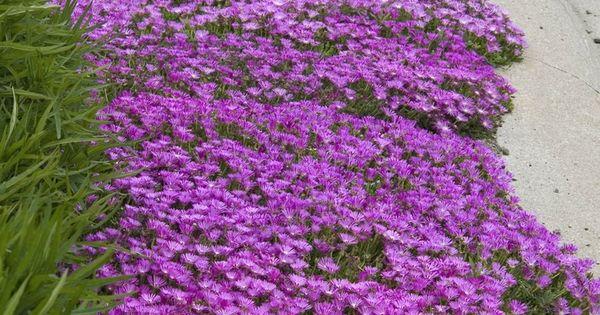 Hot And Dry Drought Tolerant Ice Plant Delosperma Is
