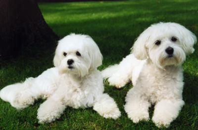 Dog Eye Stains Home Remedy Natural Dog Dog Eyes Dogs