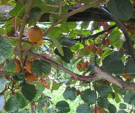 Organic Kiwi Fruit Home Gardening Advice From Master Gardeners Kiwi Fruit Backyard Vegetable Gardens Planting Vines