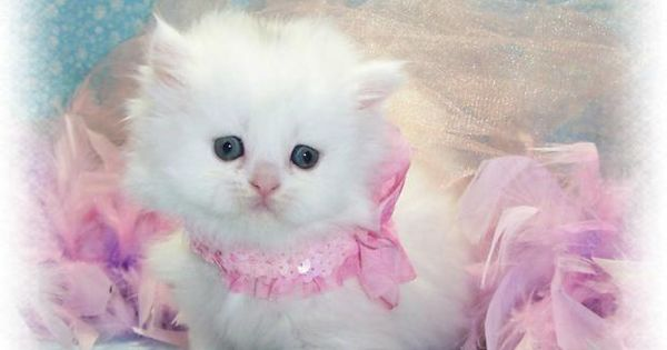 Teacup Persian Cats | Teacup Persian Kittens for sale in Vancouver ...