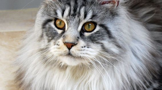 Bobby Dazzler, classic silver & white tabby Maine Coon cat