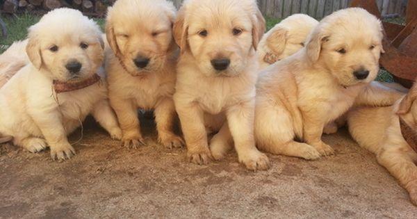 Litter Of 9 Golden Retriever Puppies For Sale In Katy Tx Adn 30073 On Puppyfinder Com Gender Male Golden Retriever Golden Retriever Litter Puppies For Sale