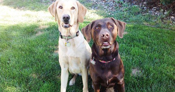 Labrador Retriever Dog For Adoption In Palos Verdes Peninsula Ca