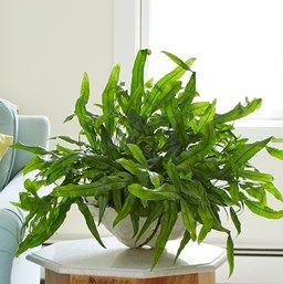 """4/"""" pot KANGAROO PAW MICROSORUM DIVERSIFOLIUM 1 PLANT"""
