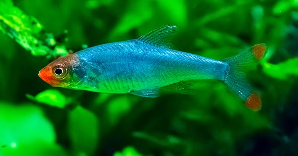 Rummynose rasbora what a pretty little fish now if i can for Pretty freshwater fish