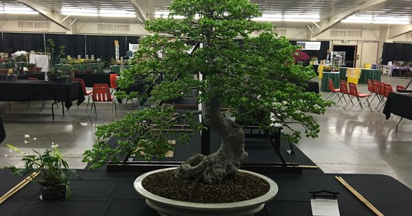 The Central Valley Bonsai Society Brought Some Beautiful