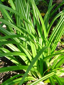 carex morrowii ssp foliosissima 39 irish green 39 teppich. Black Bedroom Furniture Sets. Home Design Ideas