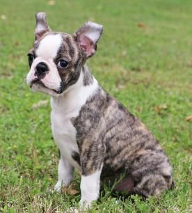 Boston Terrier Puppies For Sale In Texas With Images Boston