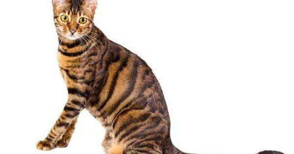 Toyger Cat Toyger Cat Bengal Cat Toyger Kitten