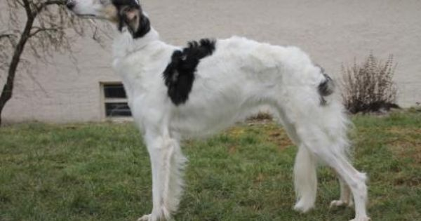 Barsoi Und Deerhound Zuchter Von Alshamina Babotschka Barsoi Zuchten Hunde