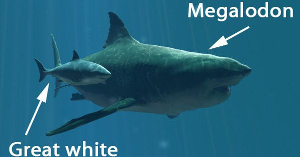 Megalodon grew up to 50 feet long. Why you're glad they're extinct: