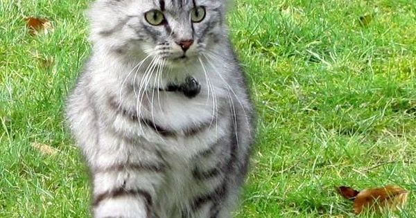 R Diamond R Maine Coons Beautiful Maine Coon |...