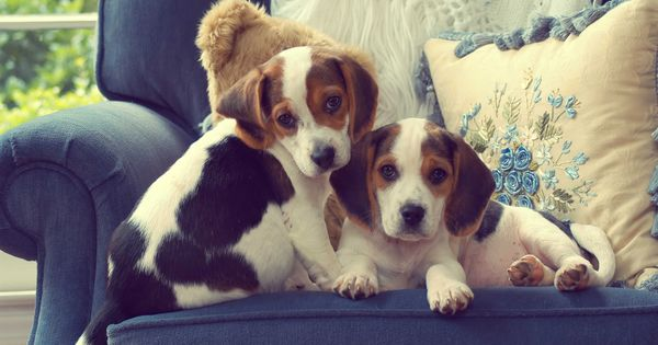A Dog Touched My Clothes How To Cleanse Them Cute Beagles Beagle Puppy Cute Animals