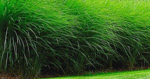 sichtschutz hecke pflanzen garten sichtschutz pflanzen. Black Bedroom Furniture Sets. Home Design Ideas