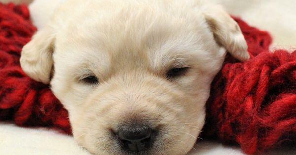 Adorable Yellow Lab Puppy In 2020 English Labrador Puppies Labrador Retriever Labrador Dog