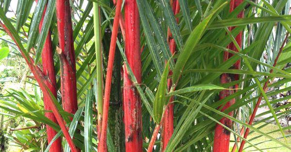 Growing Bamboo Fence