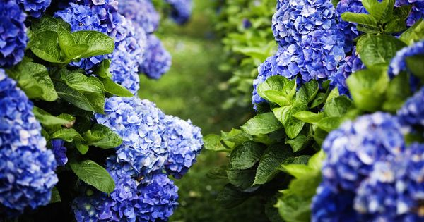 14 Popular Easter Flowers And What They Symbolize Planting Hydrangeas Plants Fragrant Plant