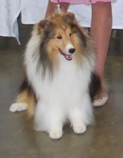 Beautiful Sheltie Of The Proper Type America Collie Dog