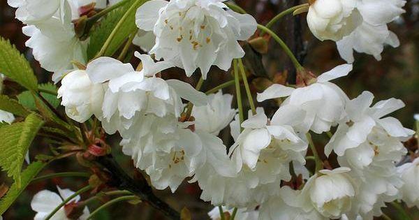 Prunus Avium Plena Wild Cherry Tree Flowering Cherry Tree Tree Uk Cherry Tree