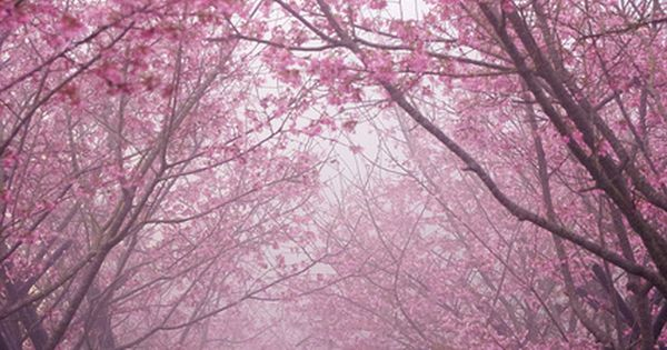 pink bloom make a beautiful path - Cherry Trees Avenue | Japan