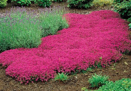 Roberta S 50 Pc Carmin Trample Me Creeping Thyme