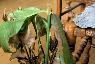Peace Lily Plant Problems How To Treat Diseases Of Peace Lily Plants In 2020 Lily Plant Care Peace Lily Plant Peace Lily Plant Care