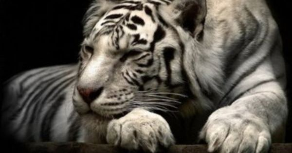 I Want This Kitty Animaux Beaux Souris Domestique Tigre Blanc Royal