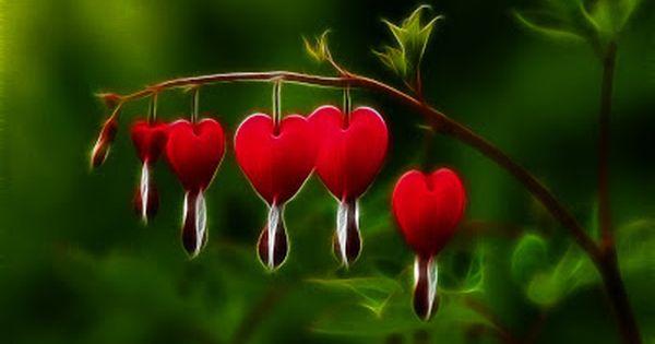 Bleeding Heart Flower Wallpaper Bleeding Heart Flower Bleeding Heart Flower Heart