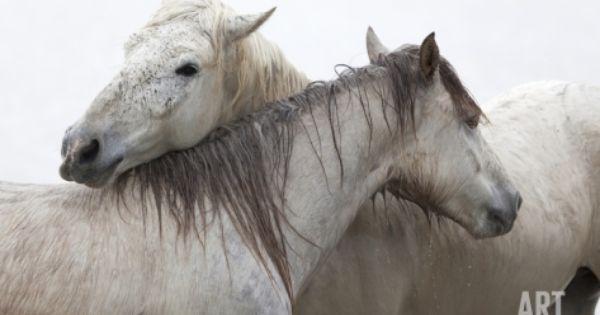 Fidelity Bond Photographic Print Marco Carmassi Art Com Camargue Horse Horses Horse Galloping
