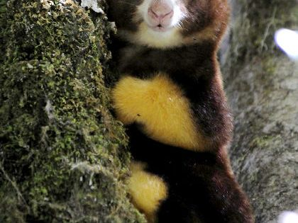 Matschie's tree kangaroo in the tropical forest of the newly created YUS