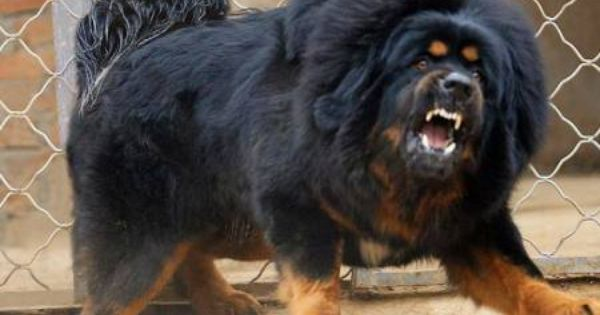 The Most Expensive Dog Red Tibetan Mastiff Dat Price Tag Tibetan Mastiff Dog Big Dog Breeds Expensive Dogs