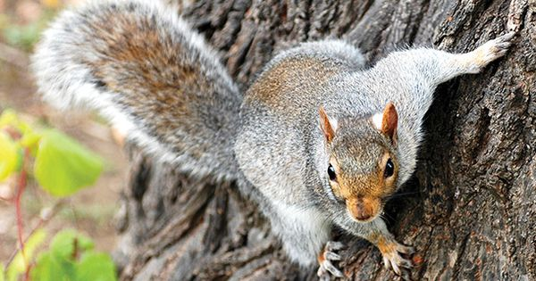 Tips for Spring Squirrel Hunting | Hunting/Fishing ...