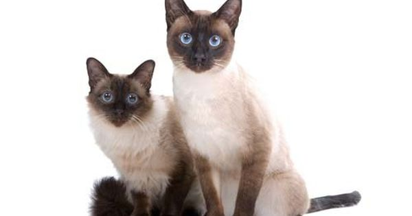 9 Best Hypoallergenic Cats For People With Allergies Siamese Cats Facts Balinese Cat Siamese Cats