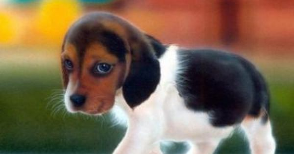 Miniature Beagles Adorable Miniature Beagle Male Puppy For Sale