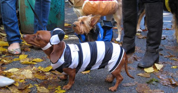 Adopt Me Rand With Radley Dachshund Rescue Nw Dachshund Rescue