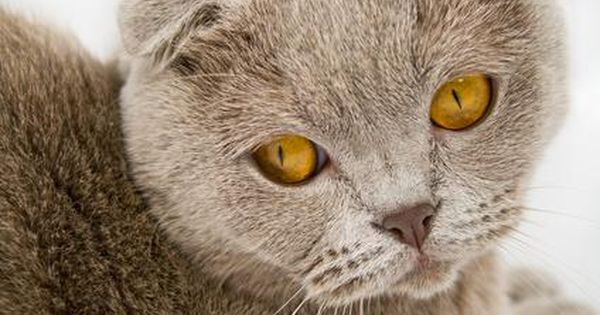 Difference Between Scottish Fold Cats American Curl Cats