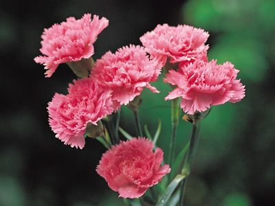 Carnations The Name Comes From The Greek Dianthus Meaning Heavenly Flower Description From Pinterest Com I Sear Carnation Flower Carnations Types Of Flowers