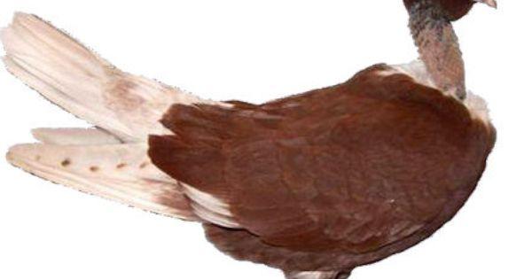 الحمام الرومي المصري Pticy