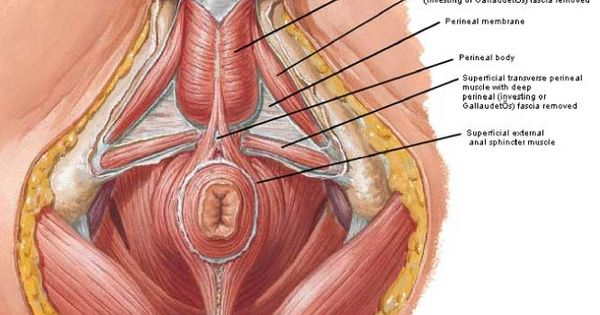 Male pelvic floor get to know your pelvic anatomy for Pelvic floor yoga