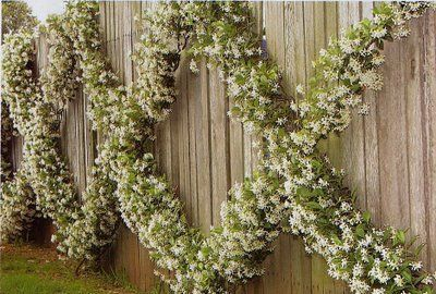 Living Fence Plants And Ideas Growing Up Jasmine And