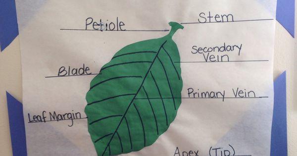 Parts of a leaf diagram. | Preschool & Pre-K Science ...