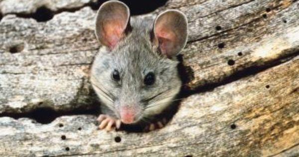 Como Acabar Con Las Ratas En El Jardin Como Eliminar Las Ratas Del Exterior De Tu Hogar Con Imagenes