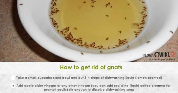 How To Get Rid Of Gnats | Lifehack | Pinterest | Helpful ...