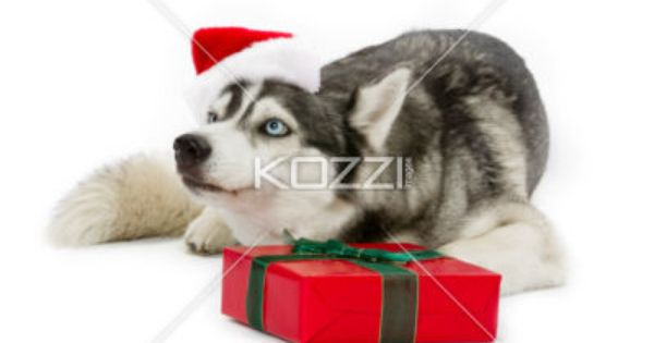 Merry Christmas Husky Present Wrapped In Ribbon In Front Of An Adorable Pet Cute Animals Puppies Husky Kittens And Puppies