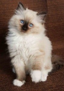 Seal Mitted Ragdoll Cat Breeders Ragdoll Kittens Virginia Ragdoll Kittens Florida Ragdoll Kittens Baby Cats Pretty Cats Ragdoll Kitten