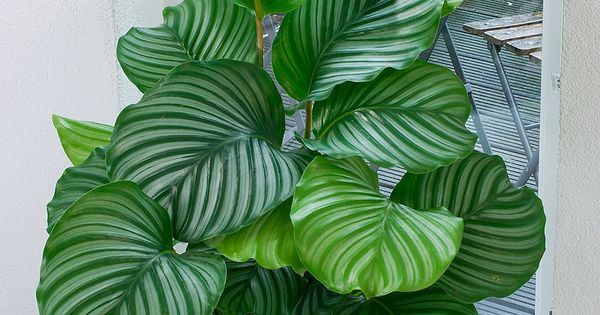 air freshening plants calathea orbifolia pflanze f r schattigen standort mag absolut keine. Black Bedroom Furniture Sets. Home Design Ideas