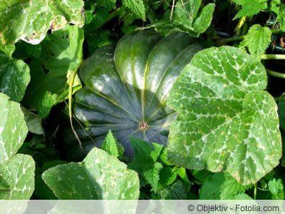 Muskatkurbis Anbau Und Pflege Der Essbaren Kurbissorte Muskatkurbis Kurbissorten Pflanzenblatter